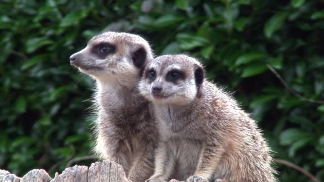 meerkats couple - zambia stock videos & royalty-free footage