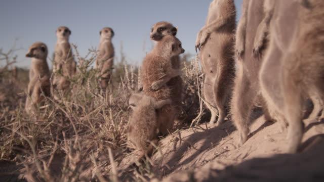 meerkats (suricata suricatta) cuddle in desert, south africa - embracing stock videos & royalty-free footage