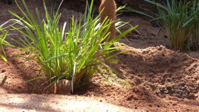Meerkats Digging A Burrow