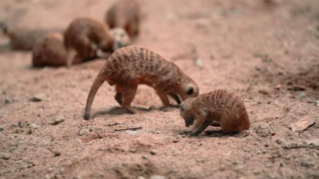 vídeos y material grabado en eventos de stock de familia meerkats - desierto del kalahari