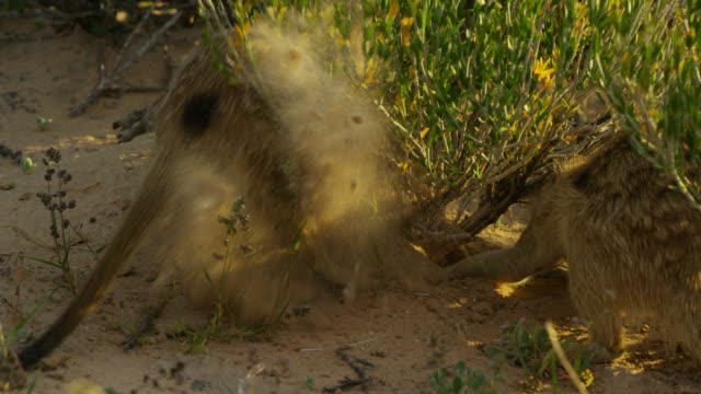 2 meerkats foraging actively at base of bush close to camera - foraging stock videos & royalty-free footage