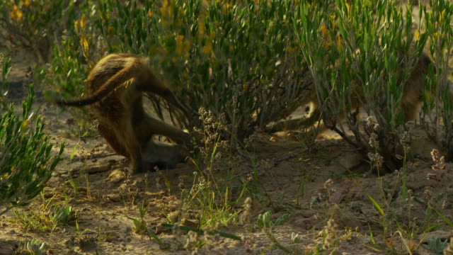 2 meerkats foraging very actively at base of bush - foraging stock videos & royalty-free footage