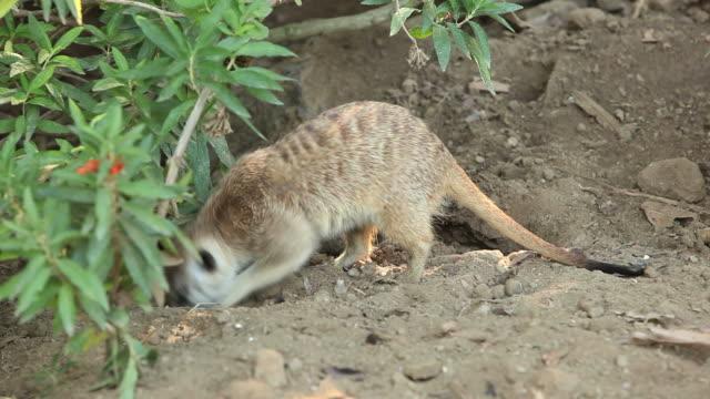meerkats 食糧を捜す - 食糧を捜す点の映像素材/bロール