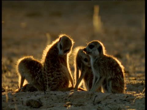 meerkats groom then run left to right out of shot, kalahari desert - preening animal behavior stock videos & royalty-free footage