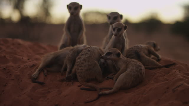 meerkats huddle together with active pup at sunset then run off - twilight stock videos & royalty-free footage