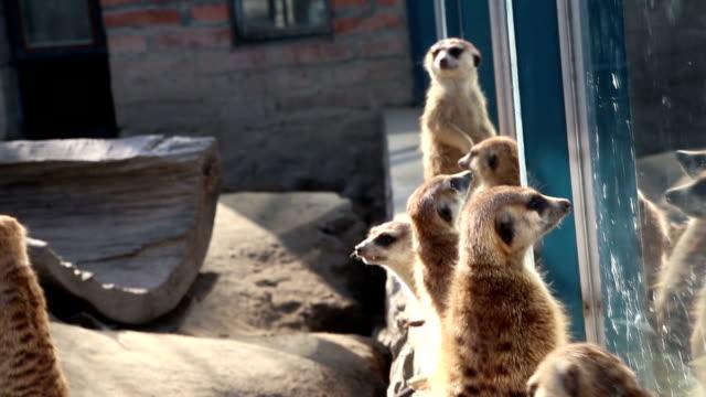 vídeos de stock e filmes b-roll de meerkats na jaula - nariz de animal