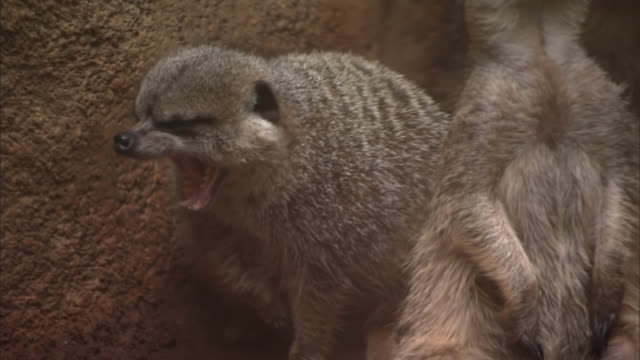 CU Meerkats in zoo / Chicago, Illinois, United States