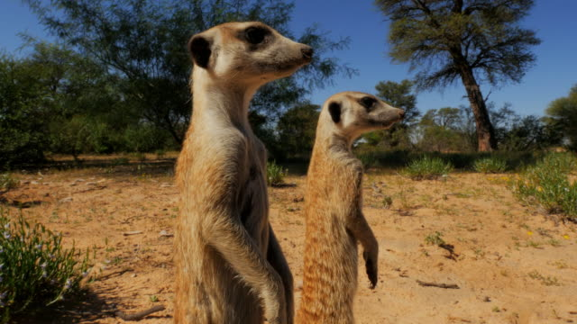 cu 2 meerkats look around in profile very close to camera - cinque animali video stock e b–roll