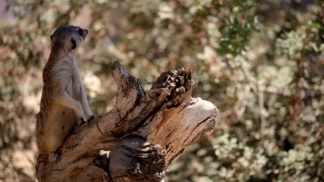 meerkats looking around standing on log - looking around stock videos & royalty-free footage
