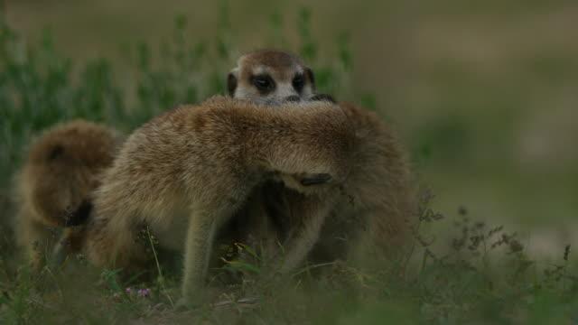 vídeos y material grabado en eventos de stock de cu meerkats mutual grooming in grass - grupo pequeño de animales