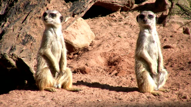 meerkats on alert - two animals watching - two animals stock videos and b-roll footage