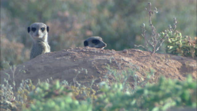 vídeos de stock, filmes e b-roll de meerkats peek from behind a rock. - espreitando