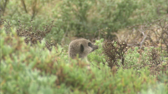stockvideo's en b-roll-footage met meerkats peek their heads over bushes. - gluren