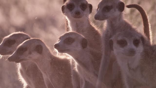 Meerkats (Suricata suricatta) peer around alertly in desert, South Africa