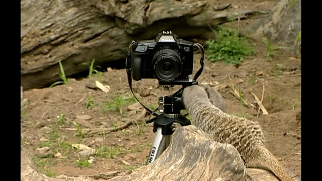 meerkats play with photographer's camera; england: wiltshire: longleat safari park: ext close up of meerkat looking directly to camera meerkats... - ロングリートサファリパーク点の映像素材/bロール