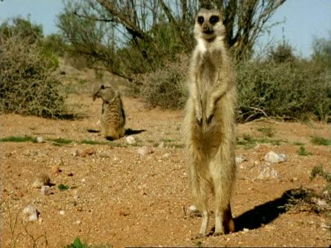vidéos et rushes de meerkats (suricata suricatta) playing behind adult, namaqualand, south africa - innocence