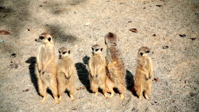 hd: meerkats posing - young animal stock videos and b-roll footage