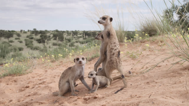 Meerkats (Suricata suricatta) relax in desert, South Africa
