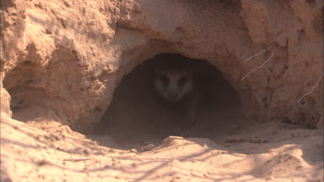 CU, Meerkats running into burrow and walking slowly out of burrow, South Africa
