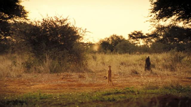 vídeos y material grabado en eventos de stock de meerkats scamper about on a grassy savanna. available in hd. - desierto del kalahari