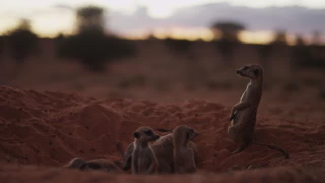 vidéos et rushes de meerkats sit and look around  at sunset r/f to landscape - terrier création animale