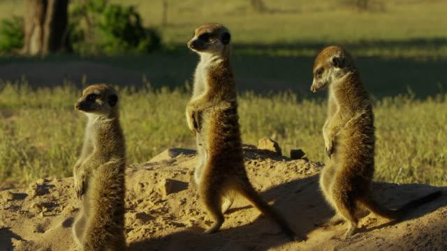 2 meerkats stand by burrow and watch third meerkat emerge - auftauchen stock-videos und b-roll-filmmaterial