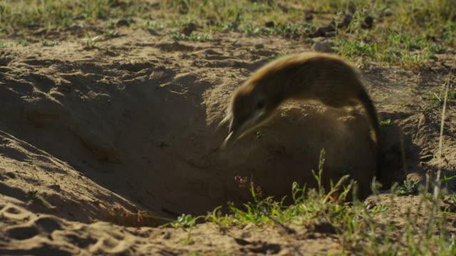 vidéos et rushes de meerkats standing in dawn light then suddenly running into burrow - terrier création animale