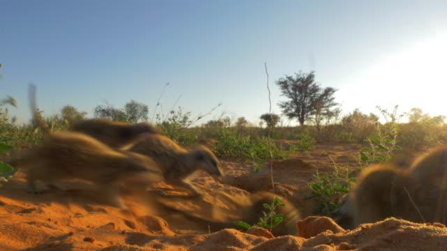 vidéos et rushes de meerkats standing in evening light then suddenly running into burrow - terrier création animale