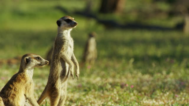 vidéos et rushes de ms meerkats standing upright and looking around with grass background - groupe moyen d'animaux