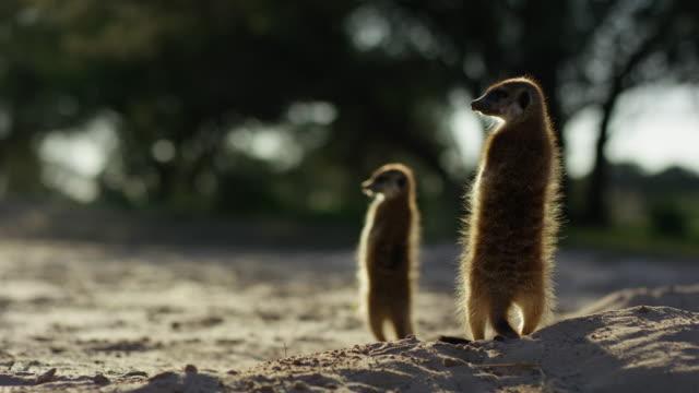 vidéos et rushes de meerkats standing upright backlit in dawn light looking around - terrier création animale