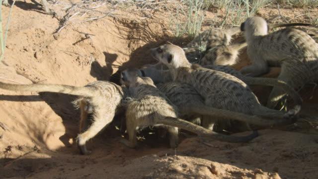stockvideo's en b-roll-footage met meerkats (suricata suricatta) try to dig snake out of burrow, south africa - dierenhol