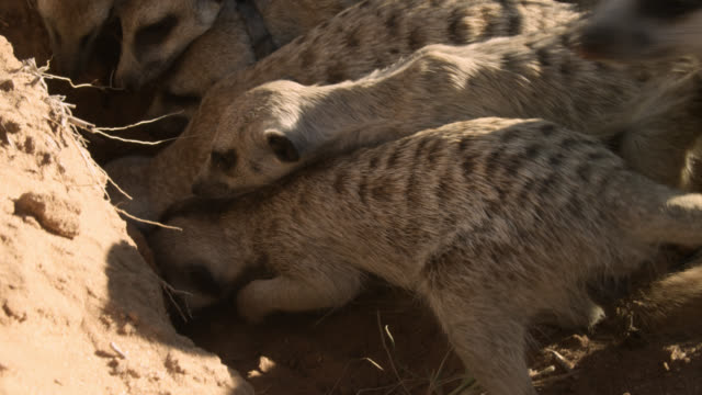 meerkats (suricata suricatta) try to dig snake out of burrow, south africa - loch stock-videos und b-roll-filmmaterial