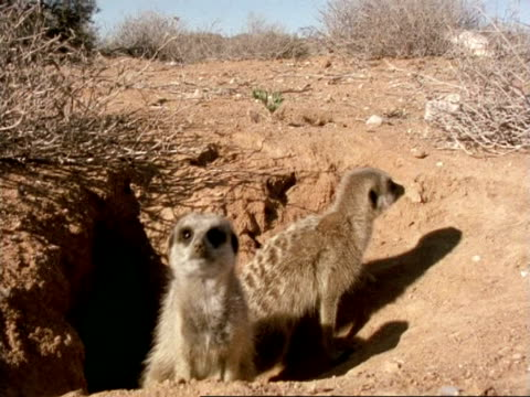 Meerkats (Suricata suricatta), two emerge from burrow entrance, look around, Namaqualand, South Africa