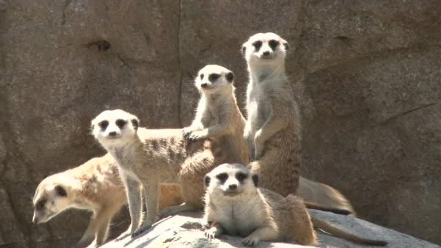 meerkats - group of animals stock videos & royalty-free footage