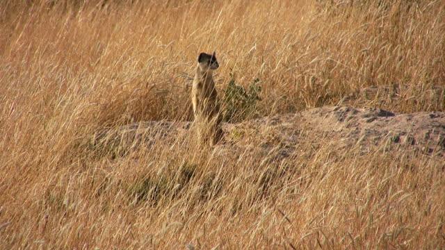 vídeos de stock e filmes b-roll de meerkats - savana