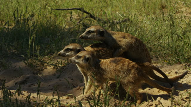 ms pan meerkats walking cautiously across grass then greeting - piccolo gruppo di animali video stock e b–roll