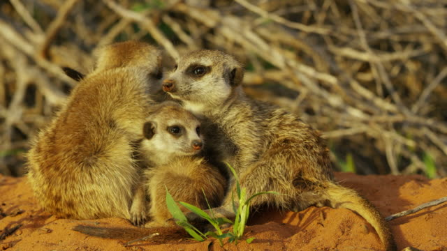 meerkats with pups look around then run towards camera - piccolo gruppo di animali video stock e b–roll