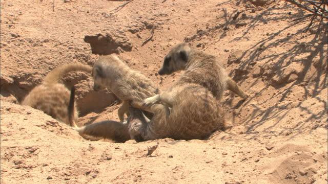 meerkats wrestle in the sand. - ボツワナ点の映像素材/bロール