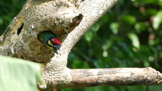 megalaimidae bird building a nest on tree - documentary footage stock videos & royalty-free footage