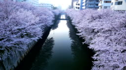 Meguro river and Cherry