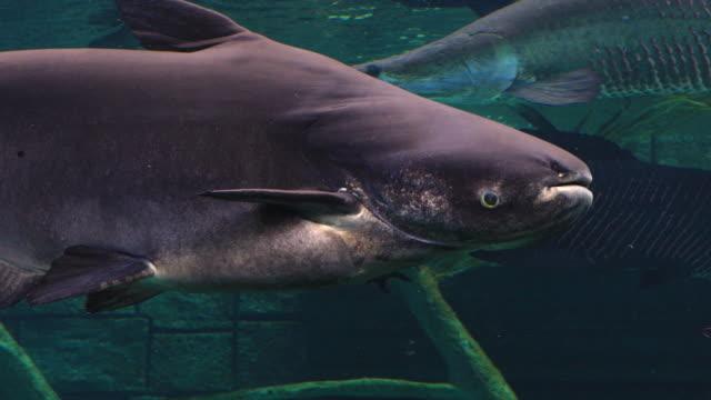 vídeos de stock e filmes b-roll de mekong giant catfish in freshwater. - gigante personagem fictícia