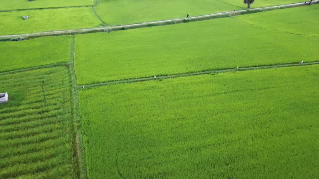 mekong rice fields - rice paddy stock-videos und b-roll-filmmaterial
