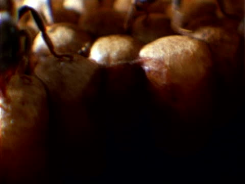 melipona compressipes bee, bcu bees on brood cells, tilt deep down into nest, panama, central america - mittelgroße tiergruppe stock-videos und b-roll-filmmaterial