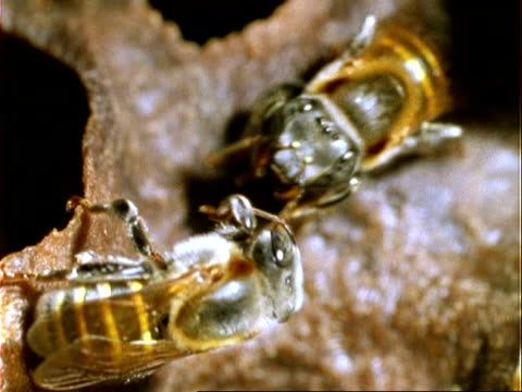 vídeos de stock, filmes e b-roll de melipona compressipes bee, cu two bees on honey pot, tropholaxis, panama, central america - grupo pequeno de animais