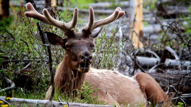 Mellow Elk