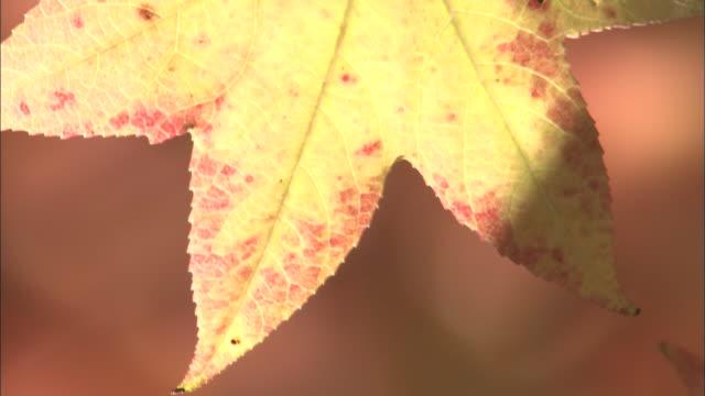 mellow sunlight glows through an autumn leaf. - sfondo marrone video stock e b–roll