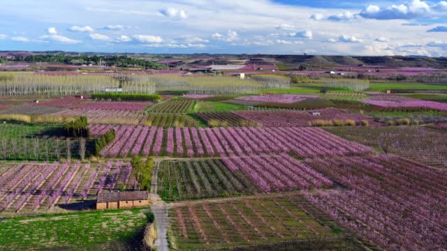 Melocotoneros en flor, Aitona, Lleida, Catalonia, Spain, Europe