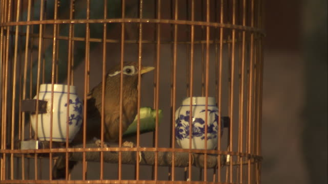vídeos de stock, filmes e b-roll de melodious laughingthrush hangs in cage from tree in beijing, china - confinamento
