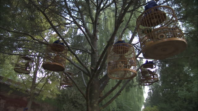 Melodious Laughingthrushes in small cages hang from tree in park, Beijing, China