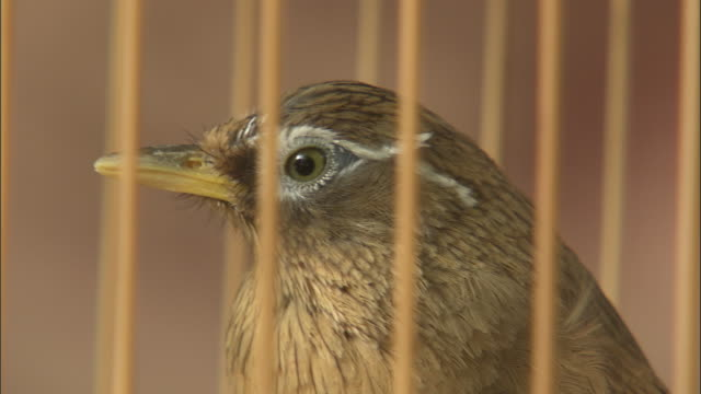 Melodius laughingthrush peers out of cage, Beijing, China
